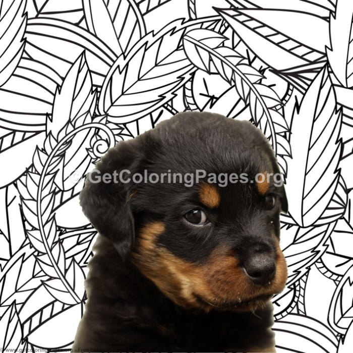 Rottweiler Coloring Pages Getcoloringpages Org
